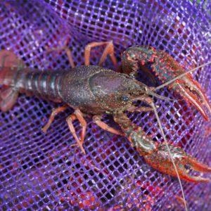 Crawfish on crawfish sack