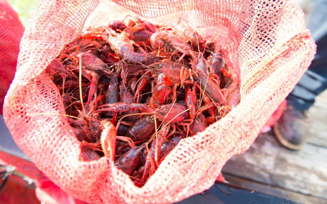 How to Care for Live Crawfish